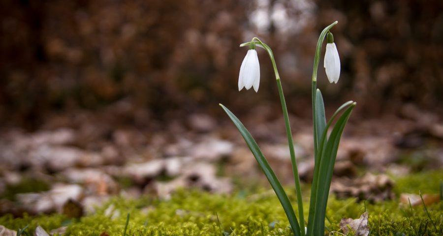 zdjęcie przedstawia kwiatek przebiśnieg